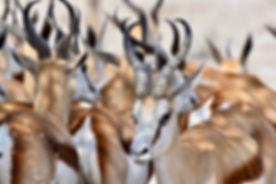 Springbokherde, ©Helmut Schäfer - Cheetah Tours & Safaris Namibia
