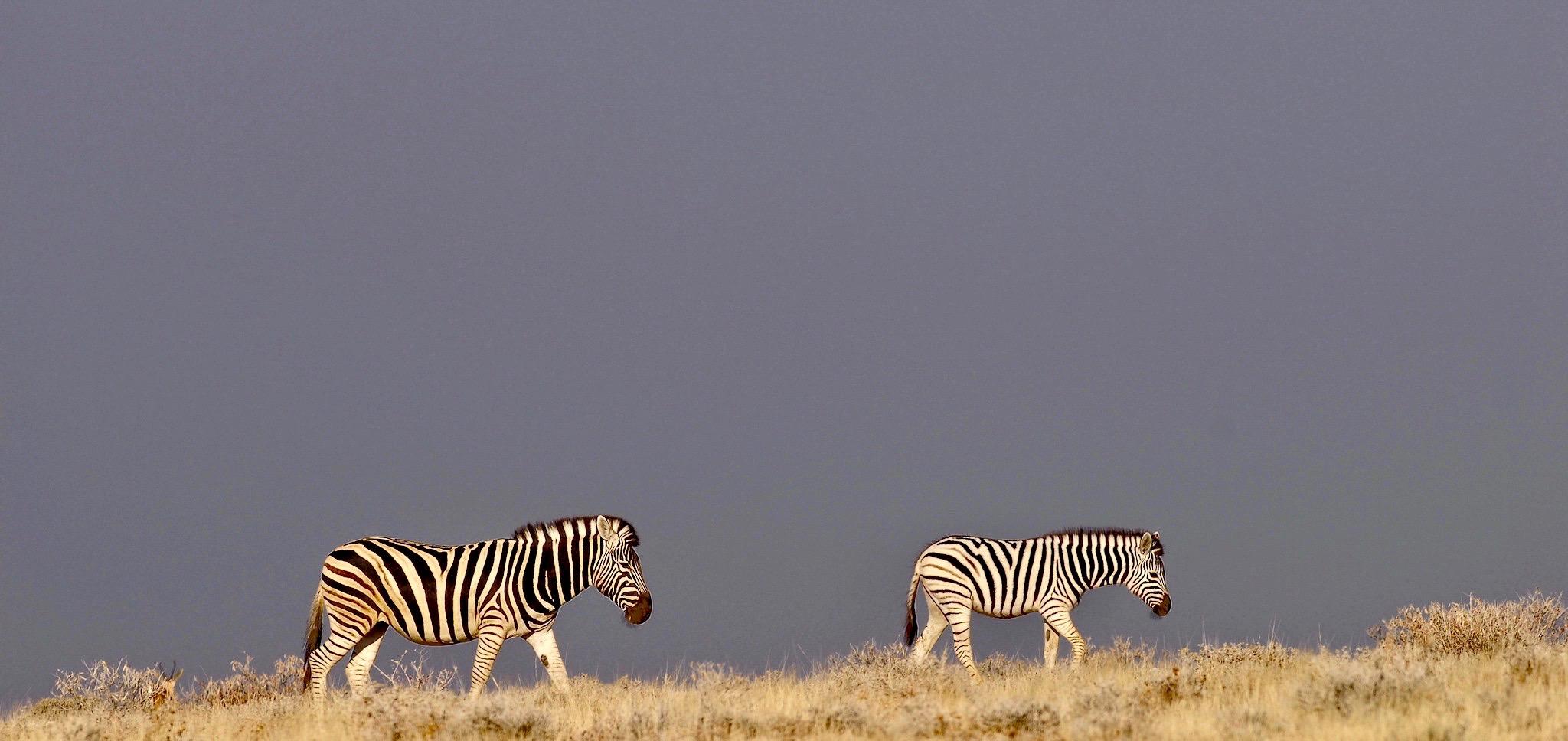 zebras-etosha-regenzeit_cheetah-tours-sa