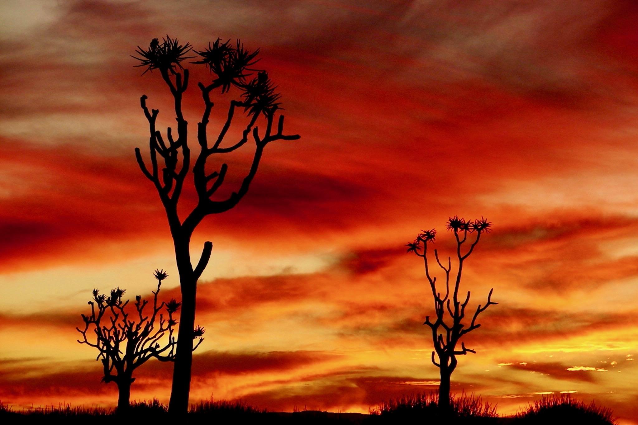 Köcherbäume vor rotem Abendhimmel