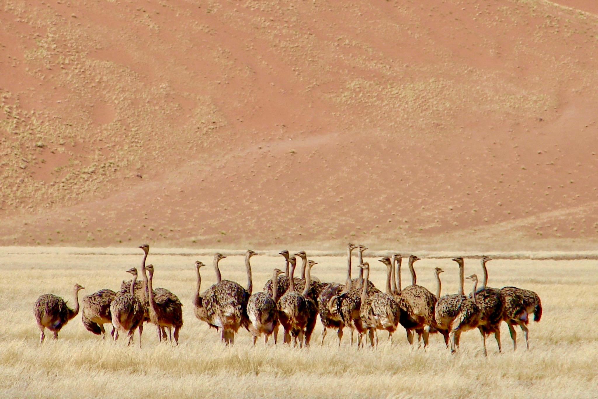Vogelstraußherde in der Namib