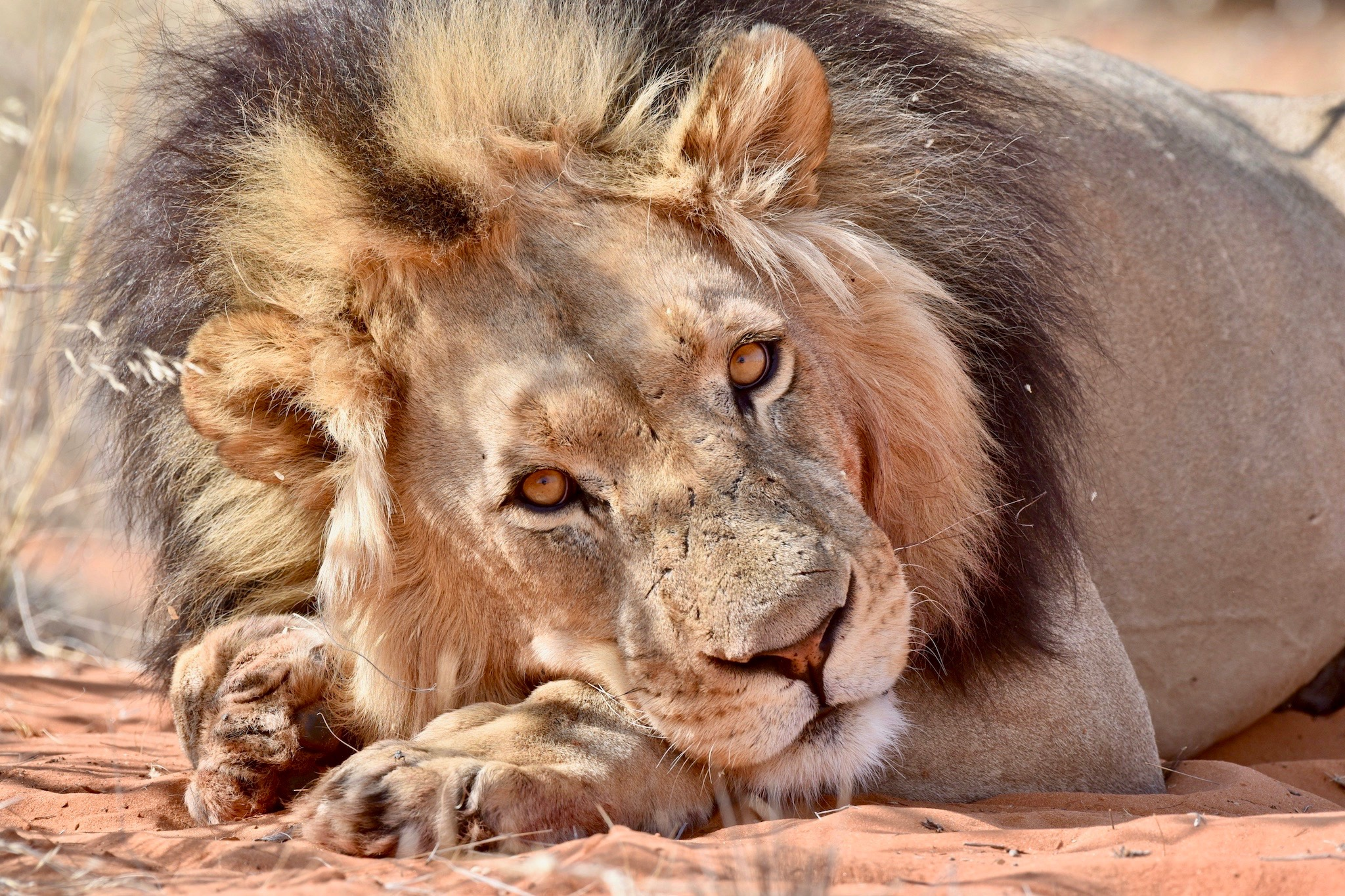 Löwenmännchen mit prächtiger Mähne