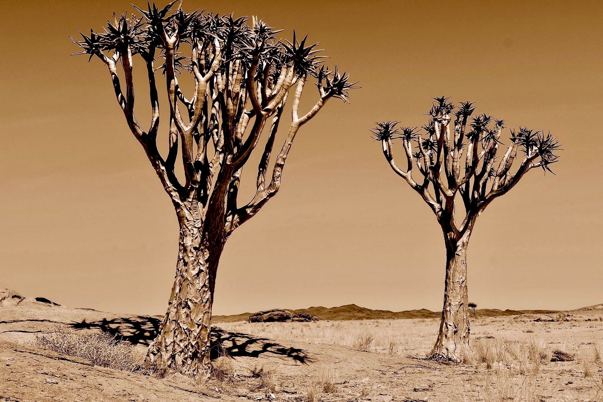 Köcherbäume bei Keetmanshoop