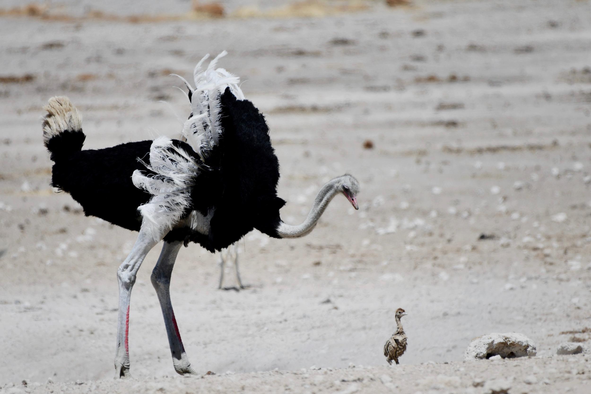 Vogelstrauß mit Nachwuchs