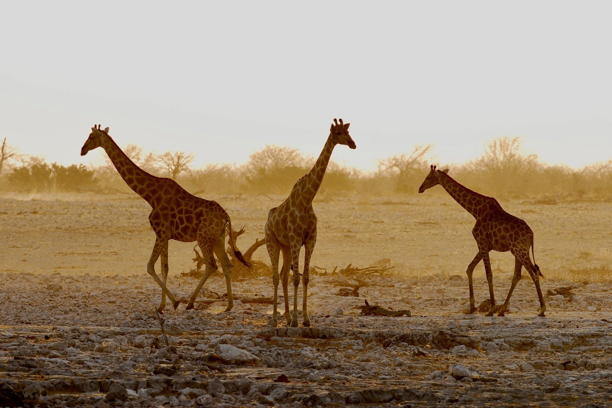 Giraffen bei Dämmerung