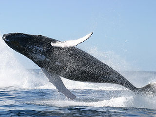 humpback-clears-the-water.jpg