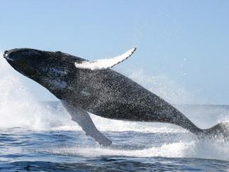 humpback-clears-the-water.jpg