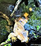 Iguana-agua.jpg
