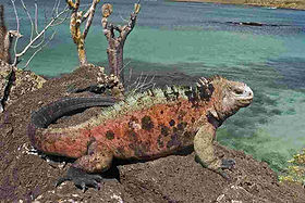galapagos_iguana-overlooking-water.jpg
