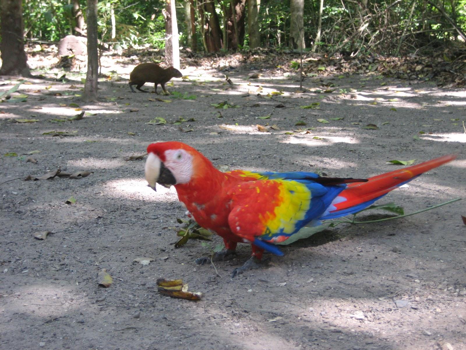 Copán - guacamaya