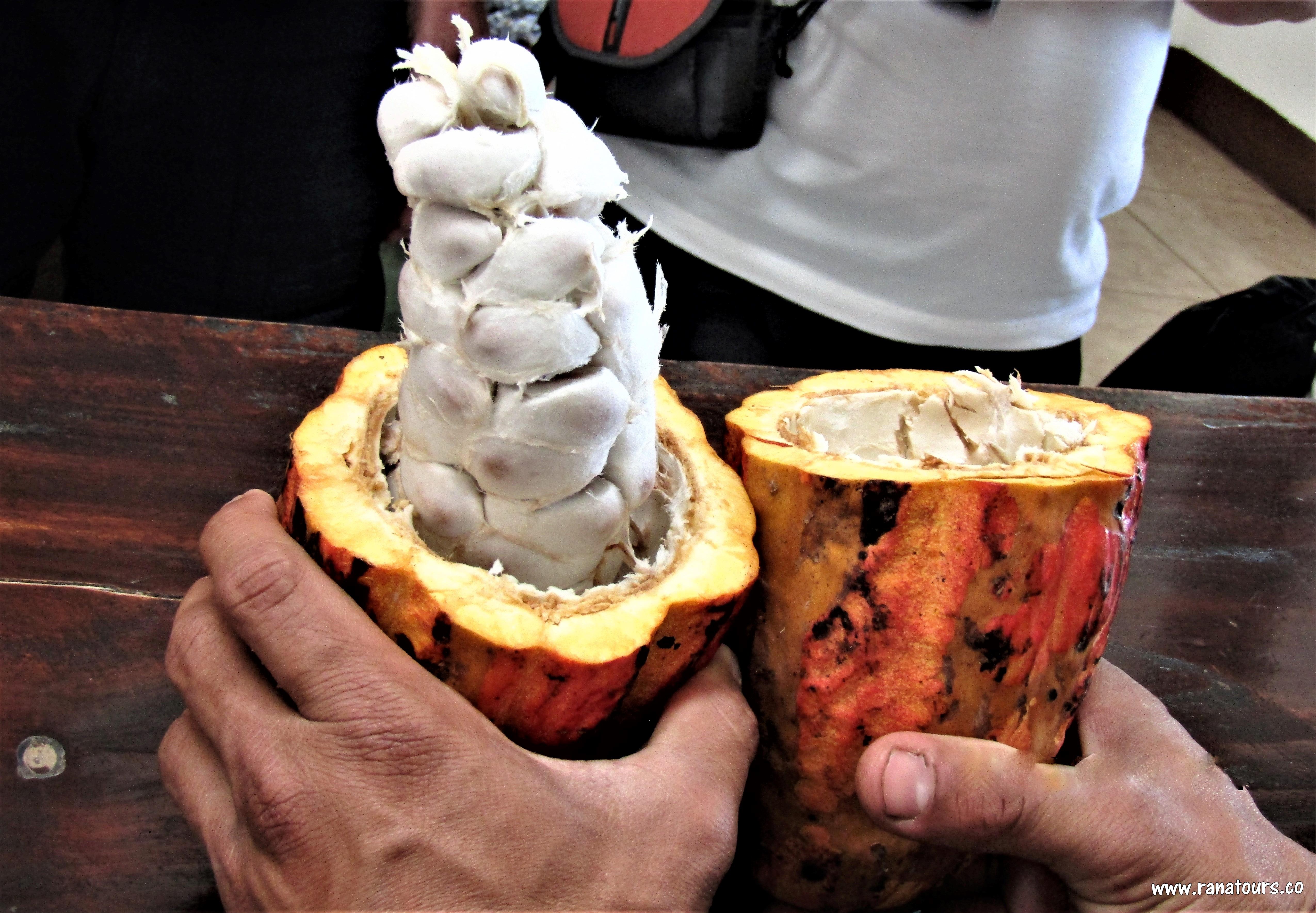 Cacao semillas