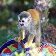 Mono cara blanca Costa Rica