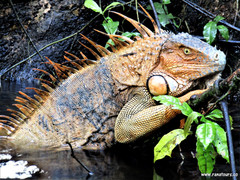Iguana agua.jpg