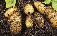 Kartoffelknollen
