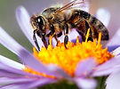 Bestäubung, Bienebestäubung_2020.jpg