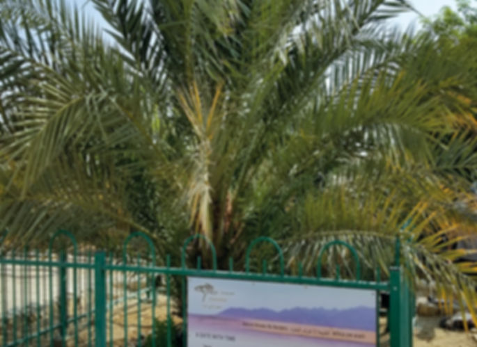 """The only example of a Judean Date Palm located at Kibbutz Ketura, Israel. It was germinated in 2005 from a 2000-year-old seed found in the Masada excavations, and is nicknamed """"Methuselah""""."""