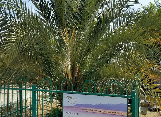 "The only example of a Judean Date Palm located at Kibbutz Ketura, Israel. It was germinated in 2005 from a 2000-year-old seed found in the Masada excavations, and is nicknamed ""Methuselah""."