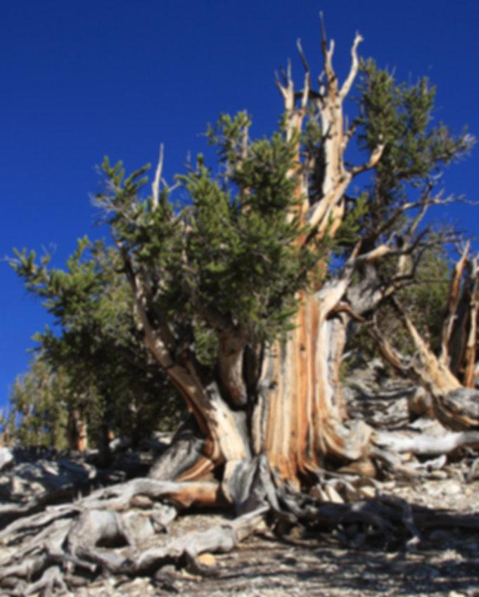 bristlecone_pine_Pinus_longaeva