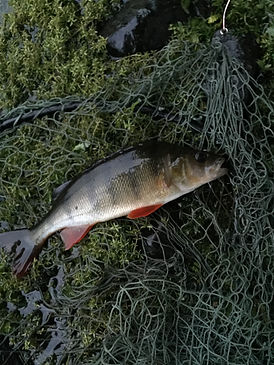 Perch caught in Coniston Water