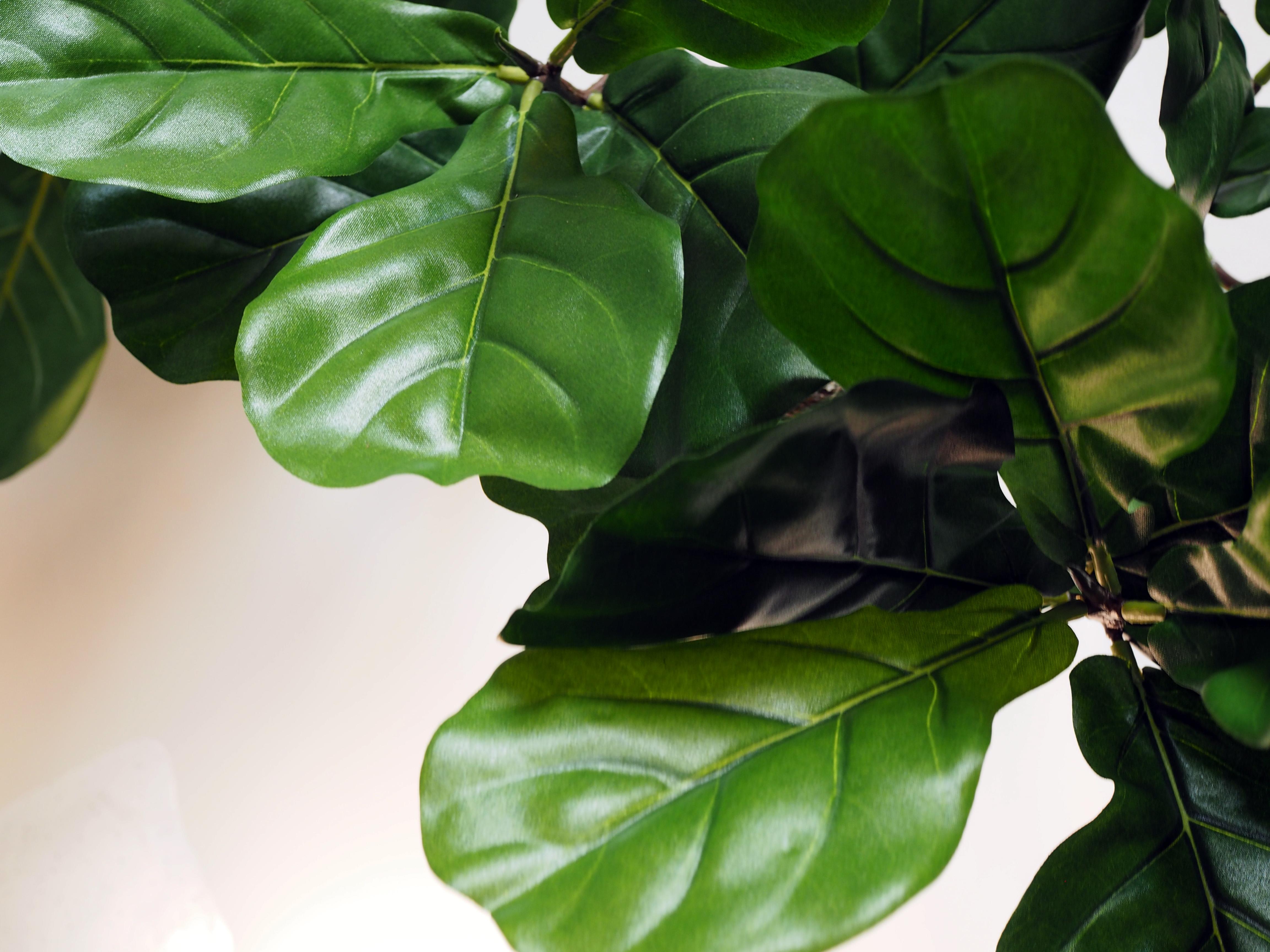 Fiddle-leaf fig leaf Detail