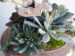 Succulent on Driftwood Arrangement
