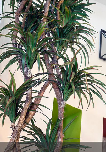Dracenae tree