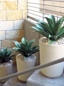 UV Resistant agave plants