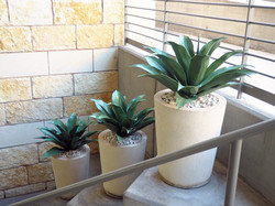 UV rated Agave Plants