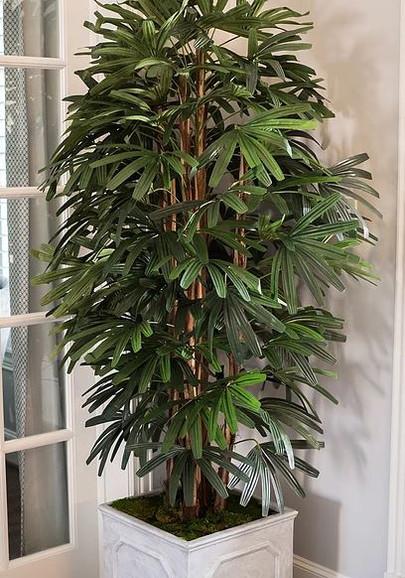 Raphis Tree