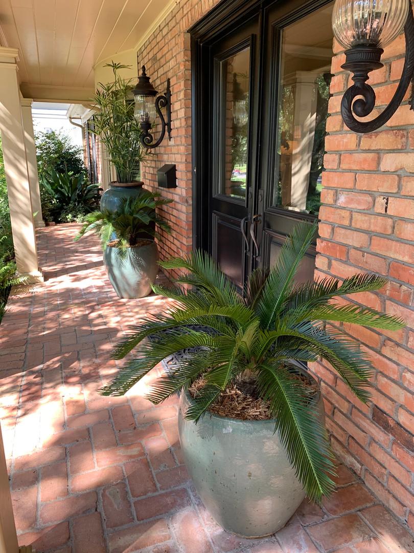 UV Resistant Sego Plant