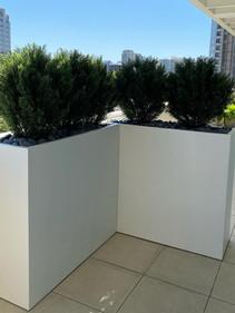 UV Resistant Boxwood planting