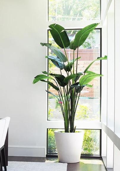 Bananna Palm Tree