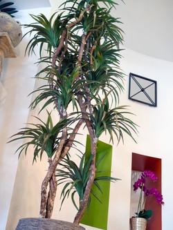 Dracenea Tree
