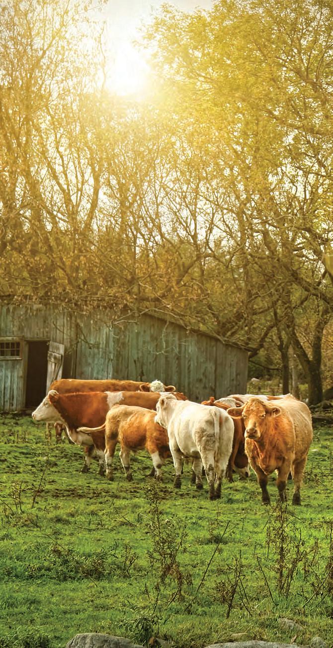 加拿大牛肉 監控嚴格 品質出眾