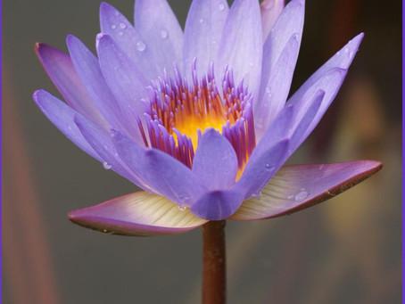 Méditation guidée - Se relier à la Terre avec le Lotus pour se recentrer.