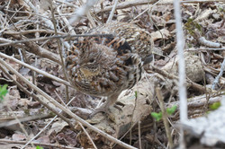 Ruffed Grouse at Access Parking Lot
