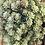 Thumbnail: Aeonium Multi-Stem Succulent