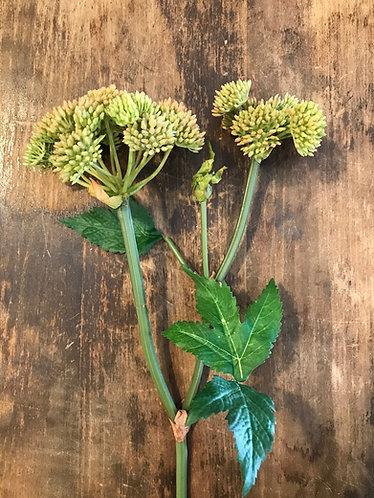 Blush Sedum Flower Stem