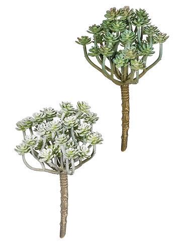 Aeonium Multi-Stem Succulent