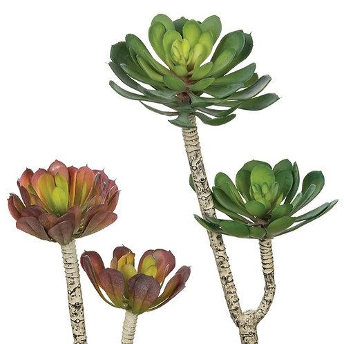 Aeonium Spray Succulent