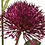 Thumbnail: Allium Flower Stem in Purple
