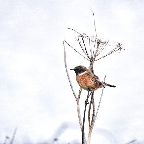 Stonechat Blank Card