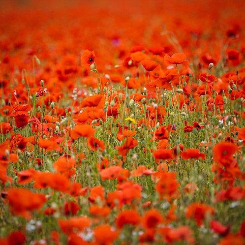 Poppy Field Blank Card