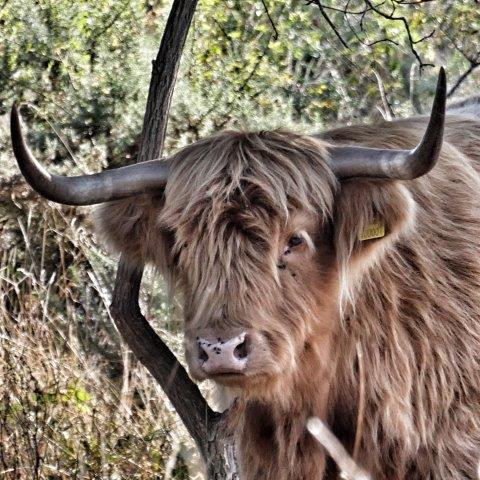 Highland Cow - Tan