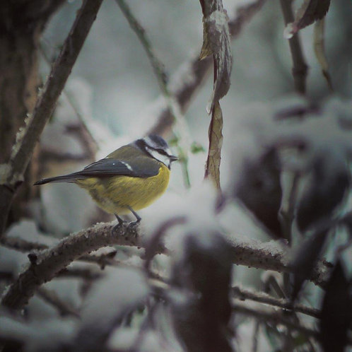 Blue Tit Christmas Card