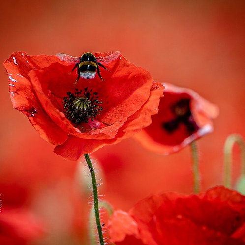 Poppy and Bee Blank Card