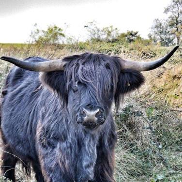 Highland Cow - Black