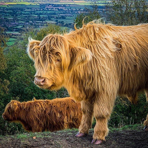 Highland Cattle on the Hills Blank Card
