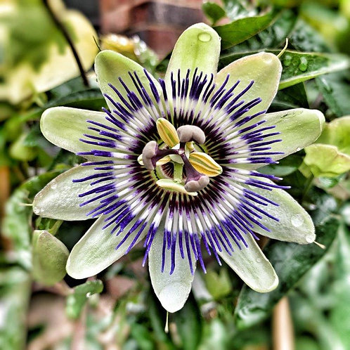 Passion Flower Blank Card