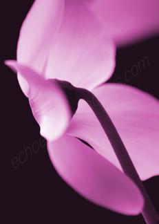 Pink Cyclamen 2