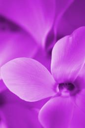 Purple Cyclamen